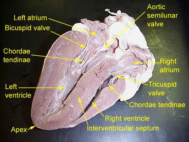 {Labeled sheep heart – Sheep Heart Dissection Worksheet
