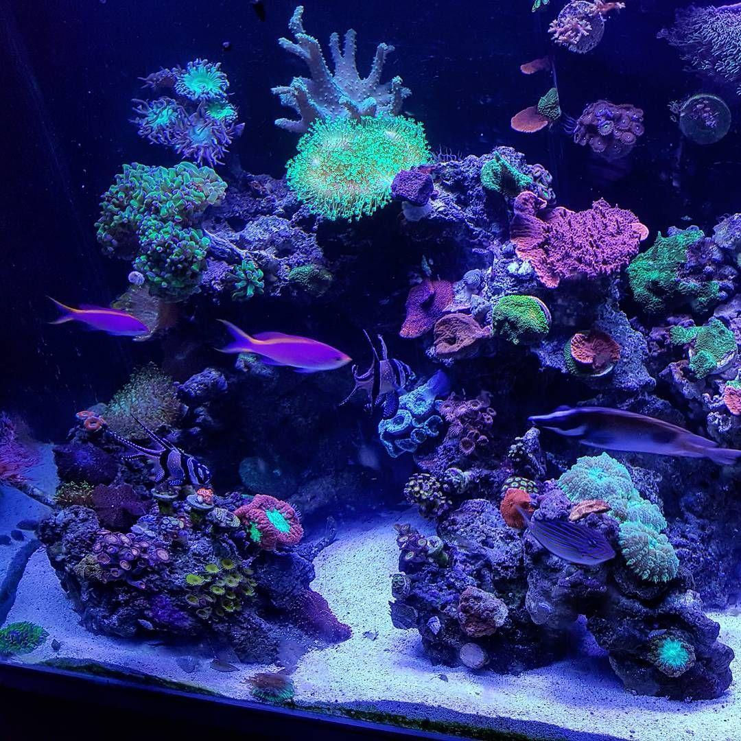 90 Gallon 🌊🌸💙 reef polyplab mixedreef reefpack reeftank
