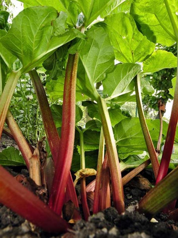 Rhabarber Richtig Vortreiben Blattsalat Pflanzen Pflege Tipps Garten