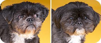 Chicago Il Shih Tzu Meet Cosmo Gizmo A Dog For Adoption
