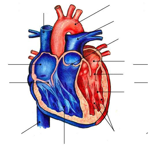 Game to help learn the anatomy of the heart. | College Help ...