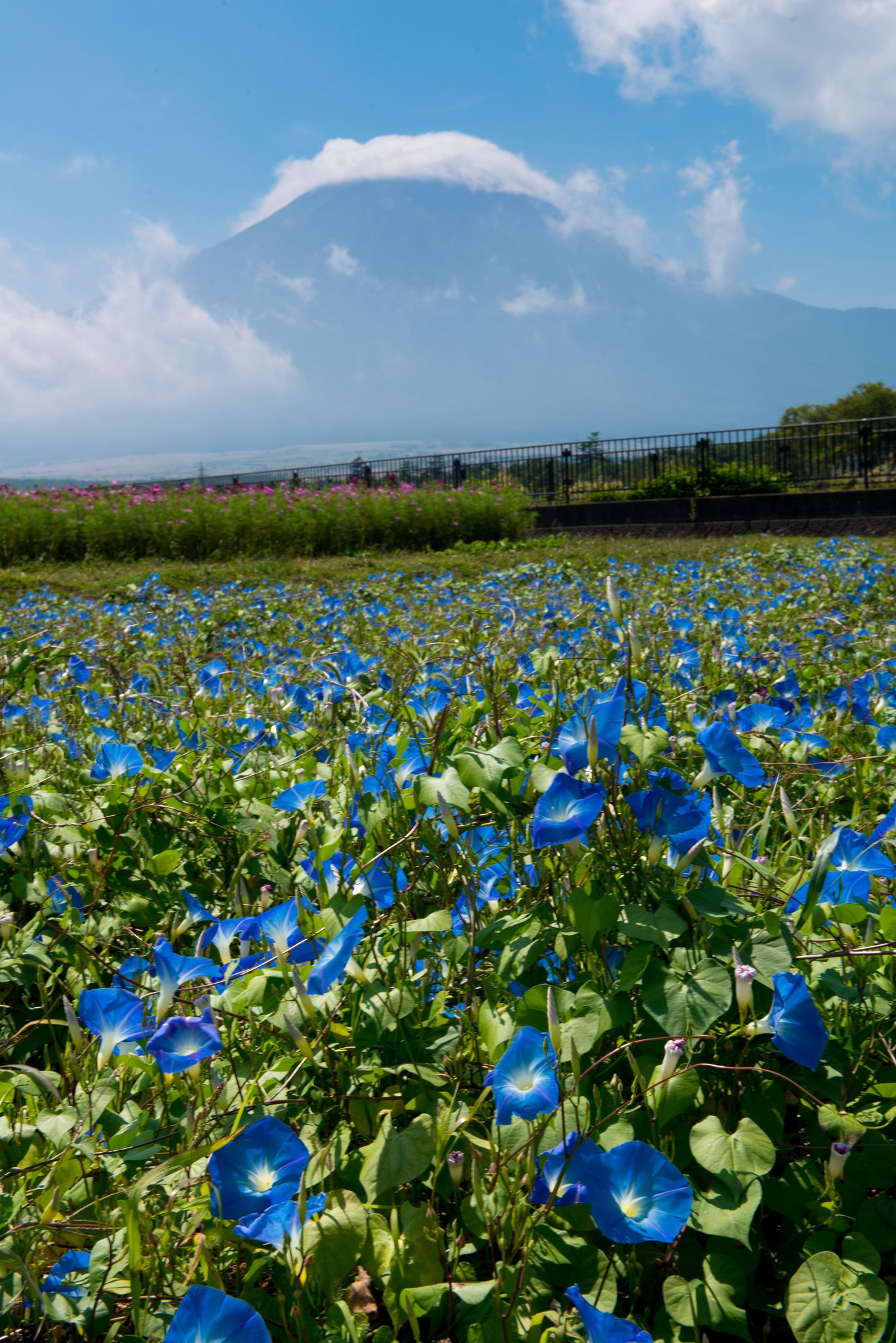 Heavenly Blue Blue Morning Glory Flower Field Flowers Nature