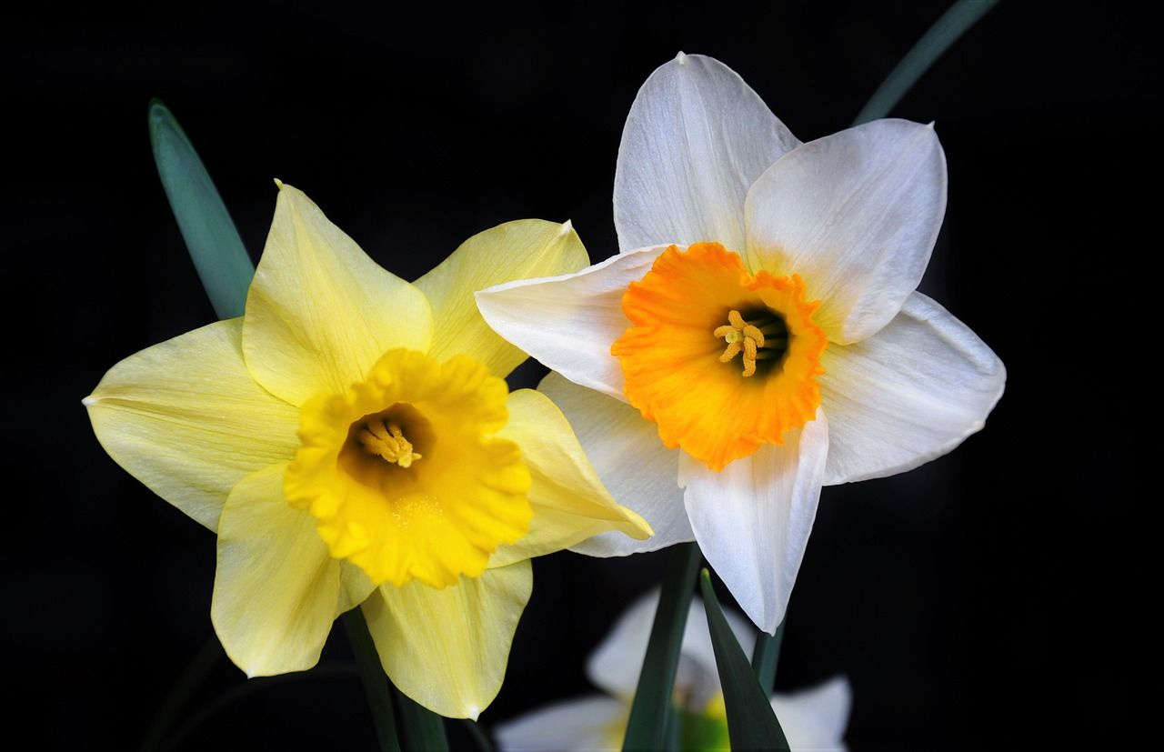 Daffodil Meaning Regard Unrequited Love Youre The Only One The