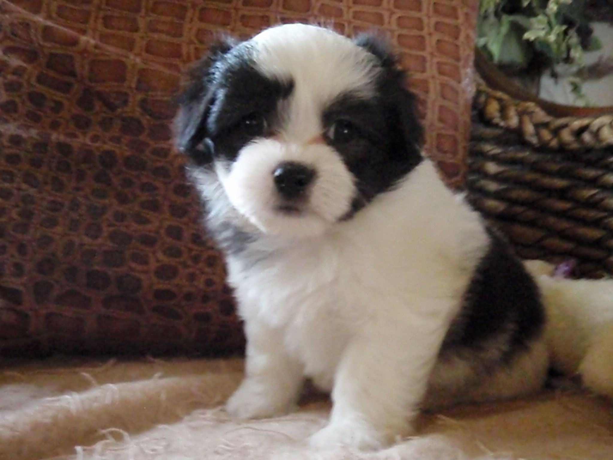 A Lot Of Coton De Tulear Rescue Groups Use Foster Houses To Make Confident Every Single Coton De Tulears For Adoption Is Coton De Tulear Bebes Animaux Animaux