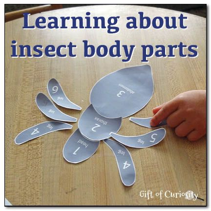 learning about insect body parts {free printable} from gift of curiosity