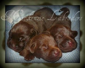 Baby Chocolate Labs Mckenzie Labradors 5 Litters On The Way This Spring American Dog Food Animals Dog Breeder