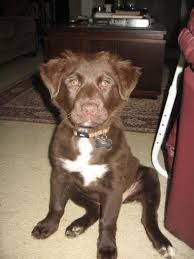 Image Result For English Spanador Mixed Breed Dogs Gorgeous Dogs Breeds Labrador