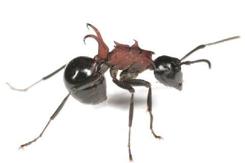 トゲアリ Polyrhachis Lamellidens 働きアリ アリ 蟻 爬虫類