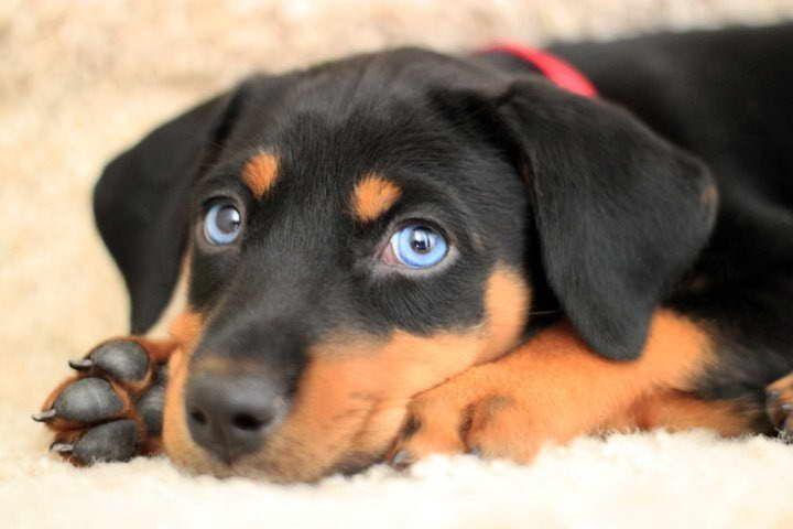 Doberman husky mix puppies for sale dengan gambar