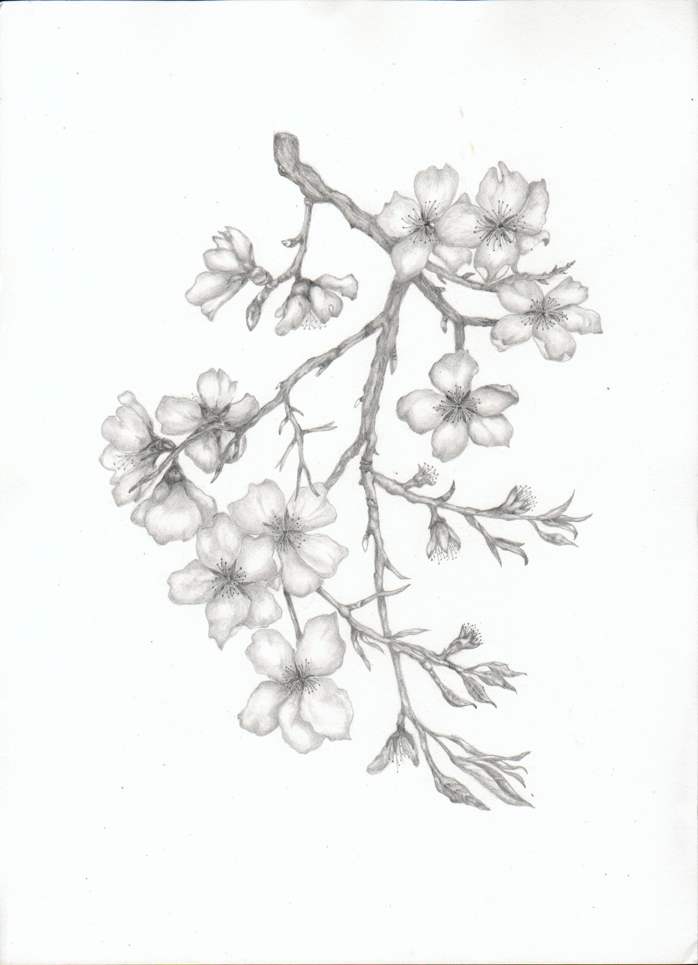 Almond Blossom Branch Cherry Blossom Drawing Flower Drawing Tree Drawings Pencil