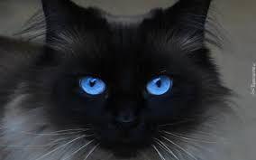 Znalezione Obrazy Dla Zapytania Kot Egipski Czarny Dziwne Koty