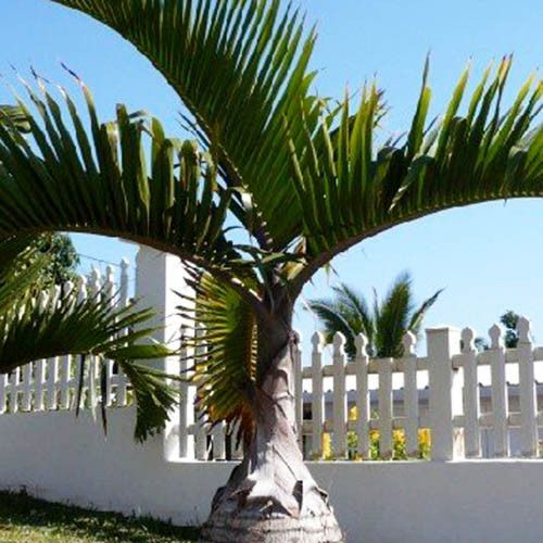 3 Seeds of Bottle Palm Tree