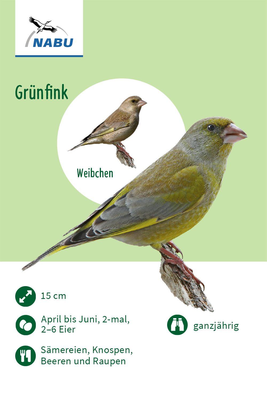 Der Grunfink In 2020 Grunfink Vogel Im Garten Vogel Im Winter