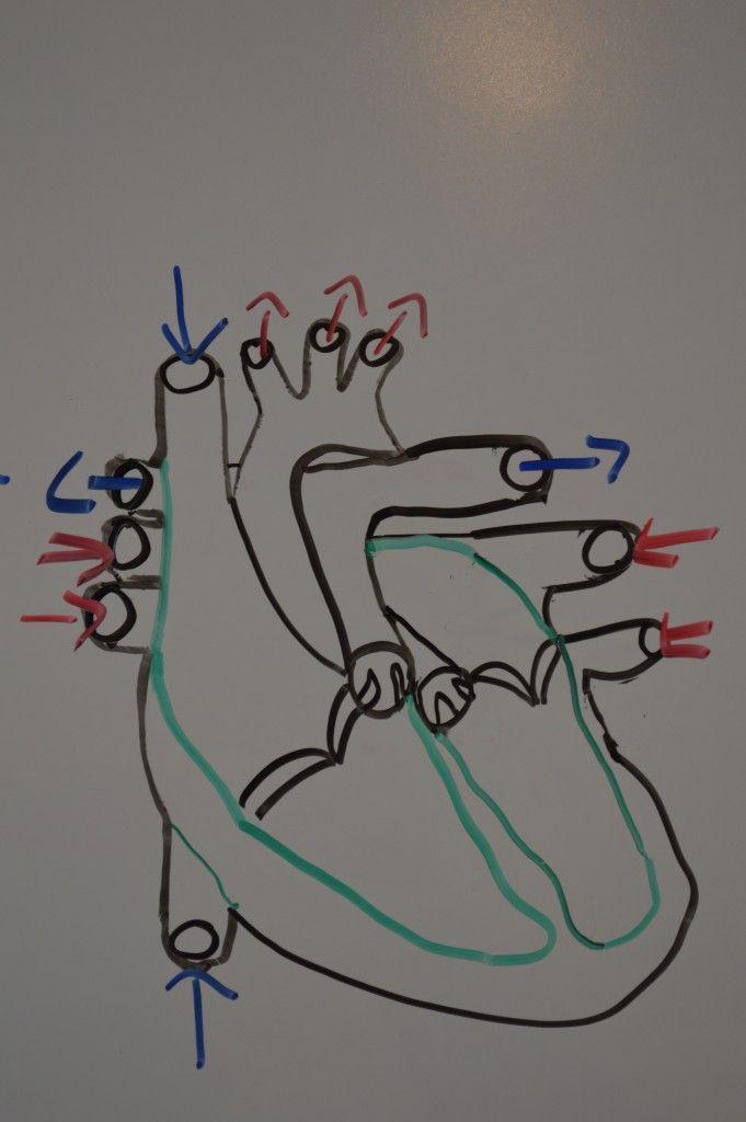 blood-flow-of-the-heart | Nursing | Pinterest | Heart anatomy