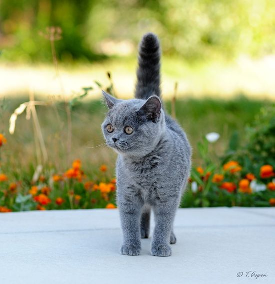 My Little British Shorthair Doll Arselle I Get Her So Soon