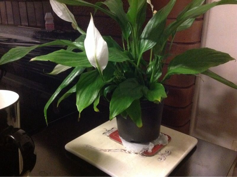 Peace Lily Problem: We do not see any disease problem but here are on peace lily problems white residue, peace lily plant brown leaves, jade house plant problems, begonia house plant problems, peace lily indoor plant, gardenia house plant problems, peace lily plant care of,