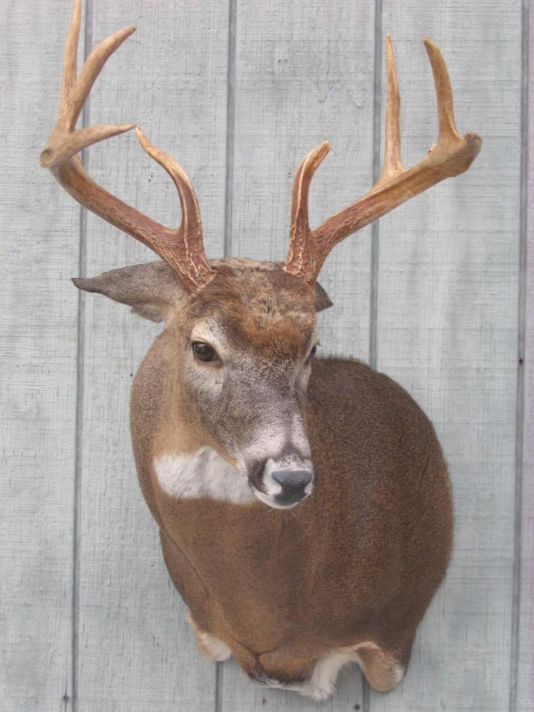 Deer shoulder mount poses bing images deer shoulder