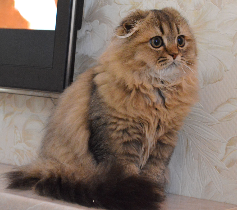 Reserved For Yiyang Yarina Scottish Fold In A Blue Gold Color In 2020 Scottish Fold Kittens Cat Scottish Fold Scottish Fold