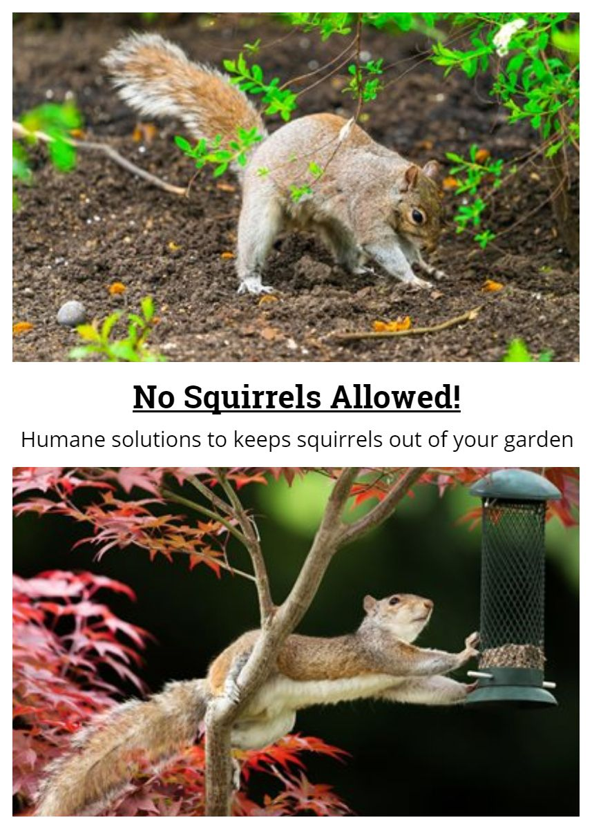 10 Humane Ways To Keep Squirrels Out Of Your Garden Squirrel Proof Garden Get Rid Of Squirrels Fenced Vegetable Garden