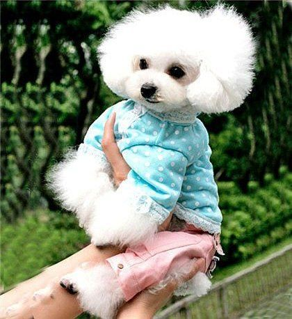 Cute White Poodle Poodle Dog Poodle Smart Dog