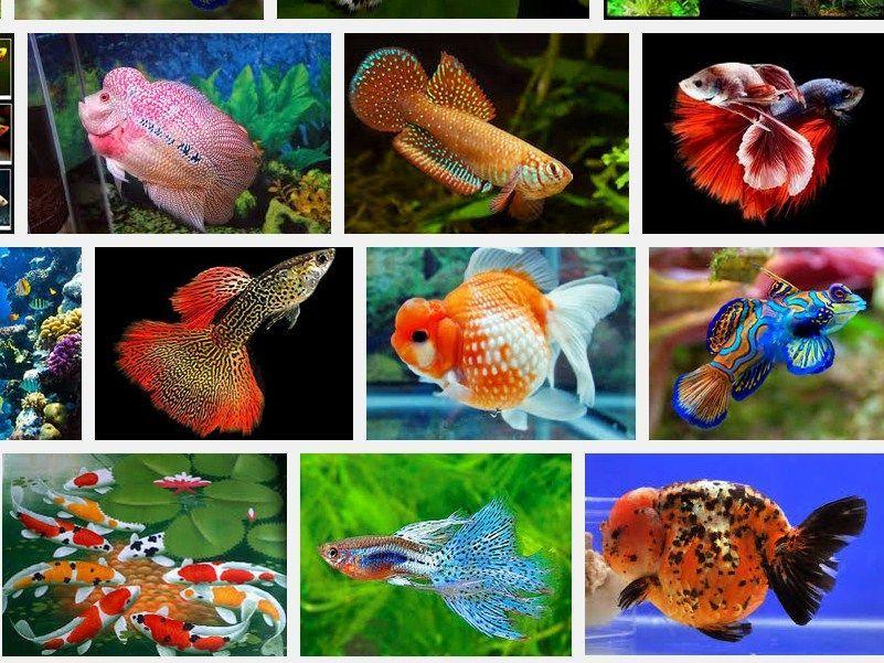 Jenis Ikan Hias Cantik Dan Murah Ikan Hias Cantik Dan Murah Dan