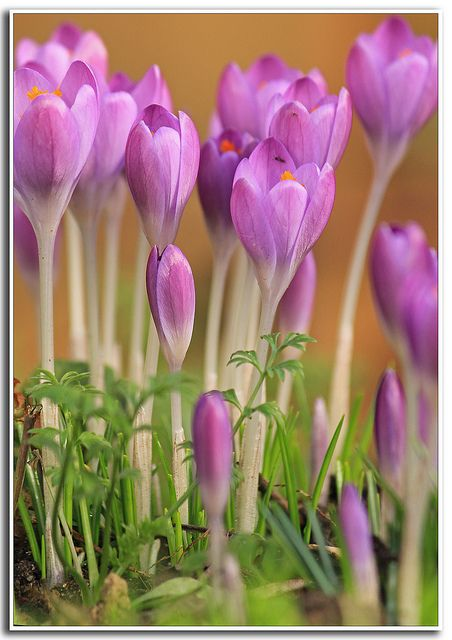 Crocus In The Spring You Make My Heart Sing Beautiful Flowers
