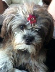 Adopt Willow On Shih Tzu Dog Shih Tzu Puppy Terrier Mix Dogs