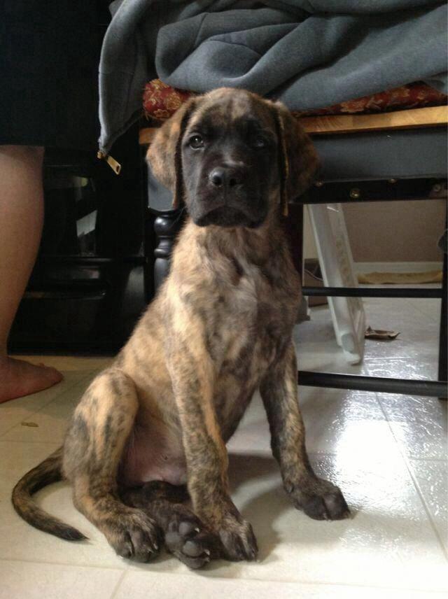 Discover The Great Dane Pups Health Greatdanecompany