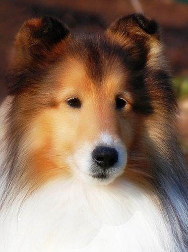 Ch Southwinds Solange Aidan Abet Sheltie Animals Beautiful