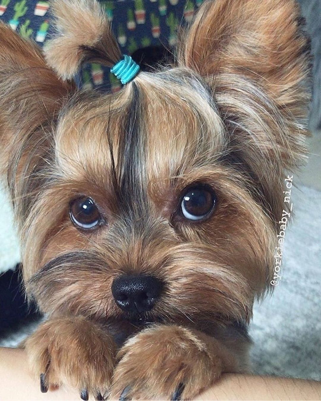 Omg In 2020 Yorkie Terrier Yorkie Puppy Yorkie
