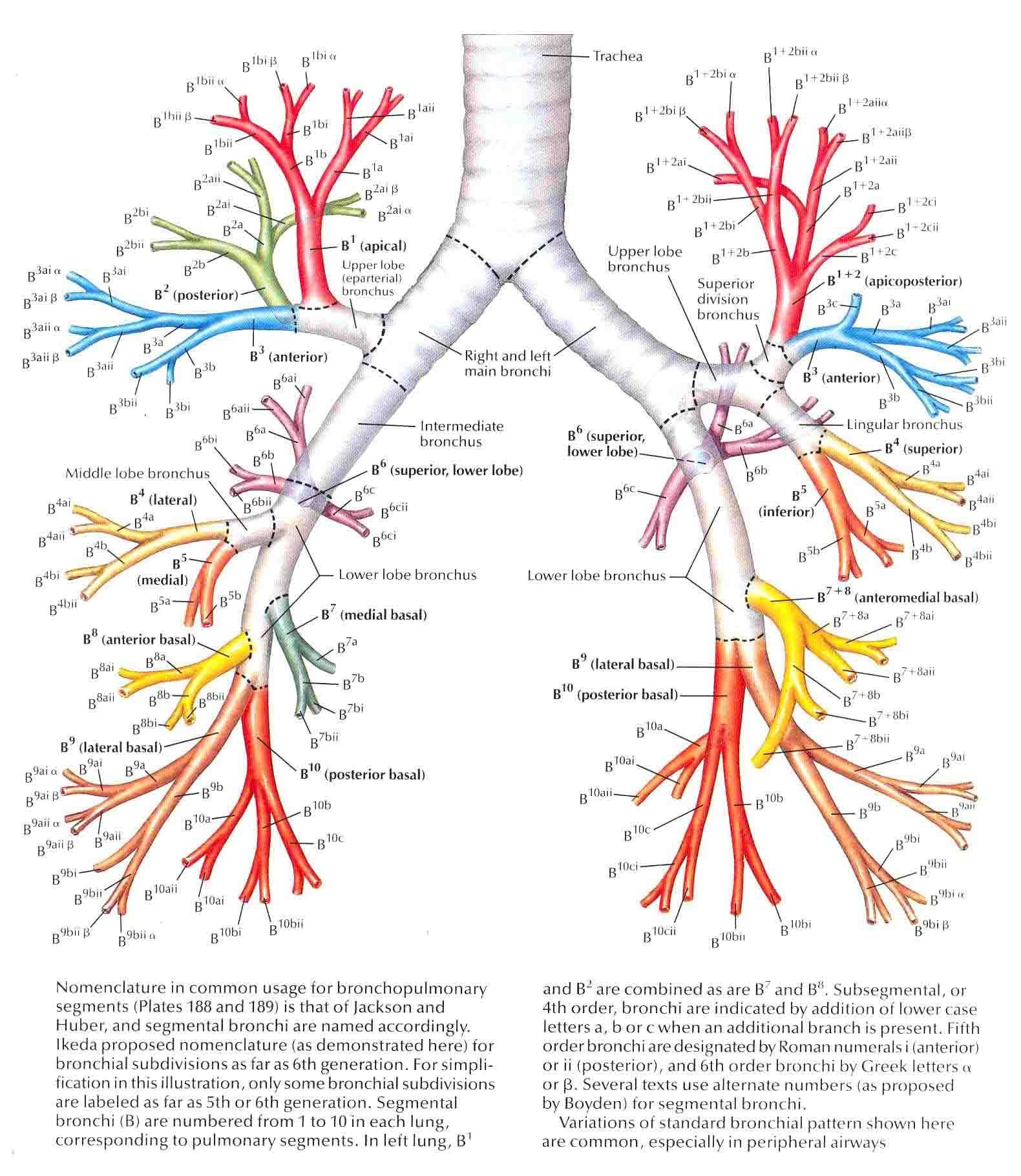 bronchi and bronchioles relationship counseling