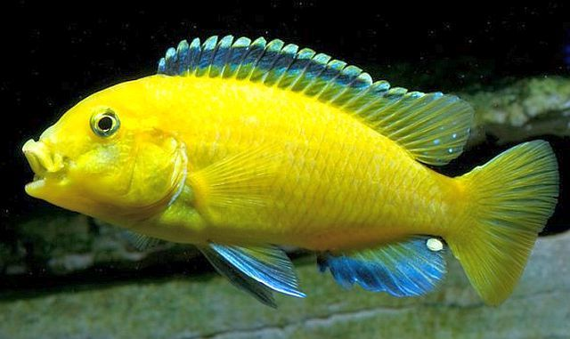 Labidochromis Caeruleus Electric Yellow Cichlid Electric Yellow Cichlid Labidochromis Caeruleus Cichlids African Cichlids Cichlid Fish