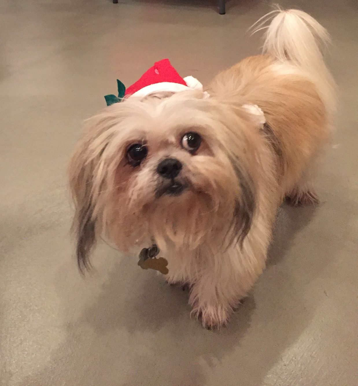 Merry Christmas from Jasper #Shih Tzu