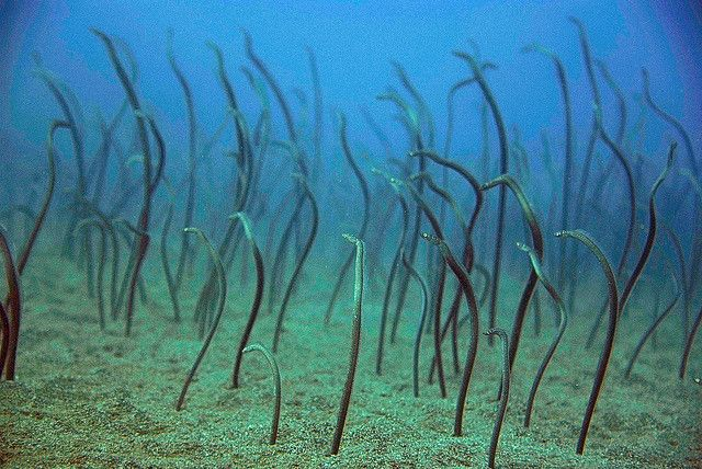 Garden eels. They look like blades of grass but when you get close, they  slink back down into the san… | Underwater photography, Farne islands, Wild  animals photos