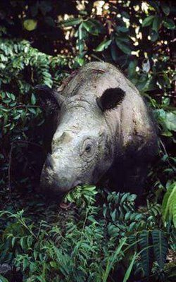 (I hope we get a chance to see a few, it might be our only chance to appreciate their existence in the wild) Critically endangered Sumatran rhinoceros that once roamed all of southeast Asia has only 6 substantial populations remaining, 4 of which are on the island of Sumatra. There are thought to be less than 300 individuals Sumatran Rhinos left in the world.