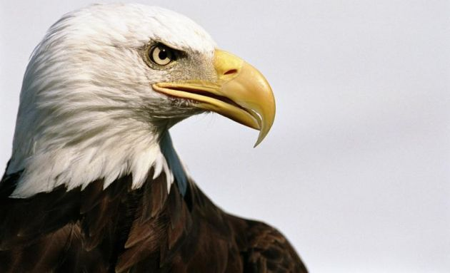 El águila calva: datos interesantes   Aves maravillosas   Pinterest ...