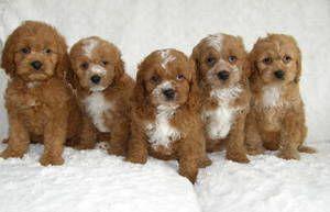 Cocker Spaniel X Poodle Pups Sudbury Canada Free Classifieds Poodle Puppy Cockapoo Puppies For Sale Cocker Spaniel