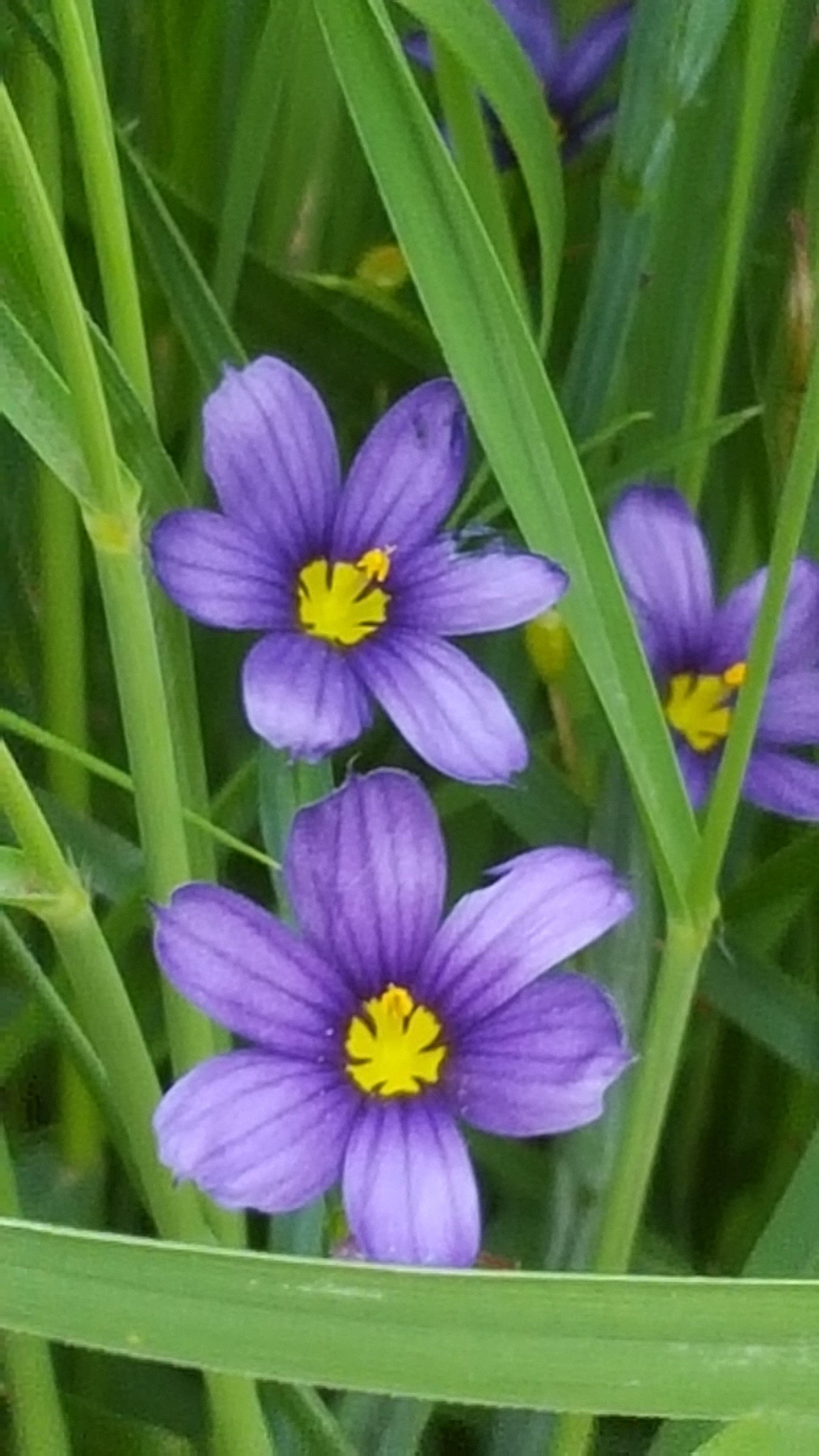 Blue Eyed Grass Sisyrinchium Angustifolium Is More Related To Iris