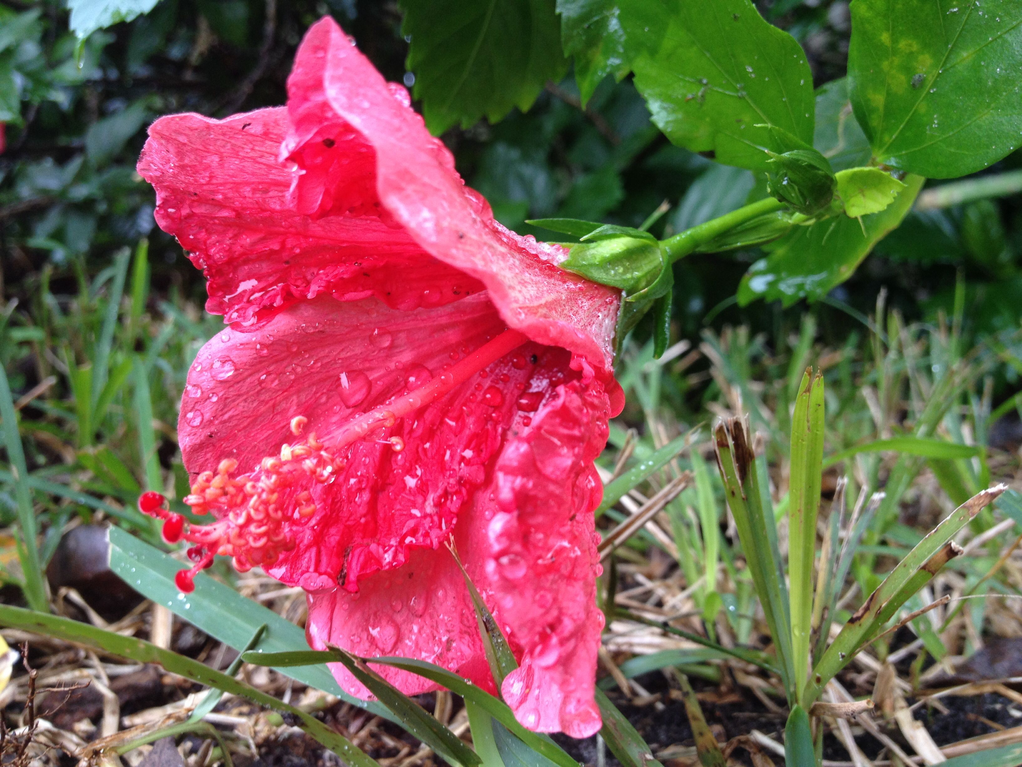 Pink Hibiscus flower in the rain.