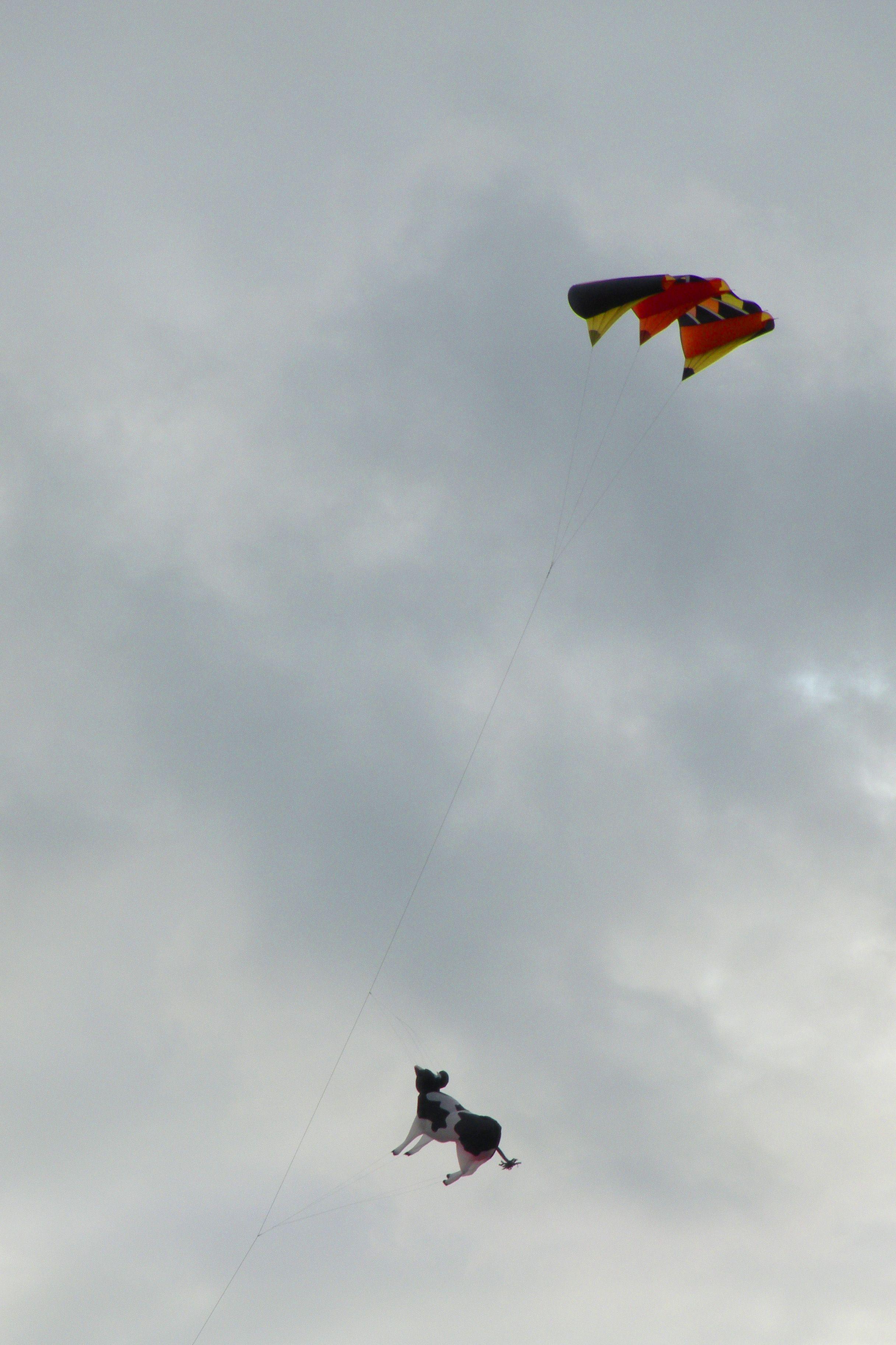 Drakfestival med en flygande ko!