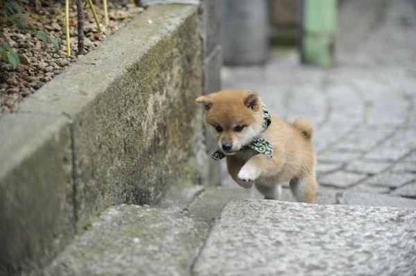 Precious Shibas おしゃれまとめの人気アイデア Pinterest 草野 ひとみ いぬ 柴犬 子犬 犬の写真