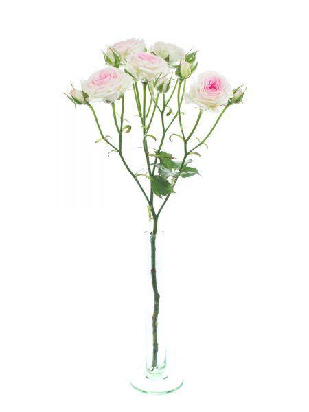 Rosen verzweigt Mimi Eden rosa  wei  Rosen  Beliebte
