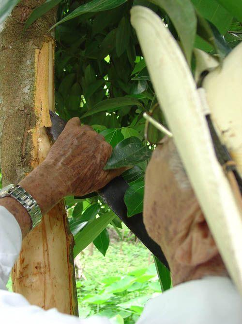 Como se obtiene la canela el sacrificio de un rbol for Como se desarrolla un arbol