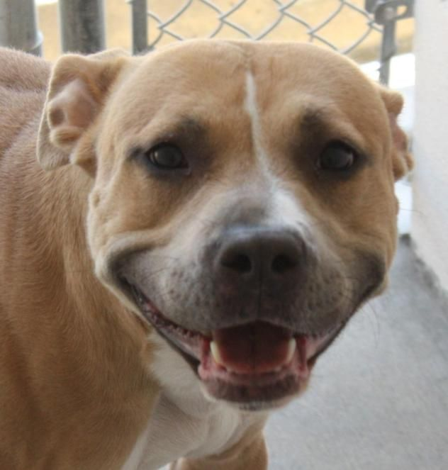 Adopt IMPOUND 15343A on Terrier mix dogs, Pitbull