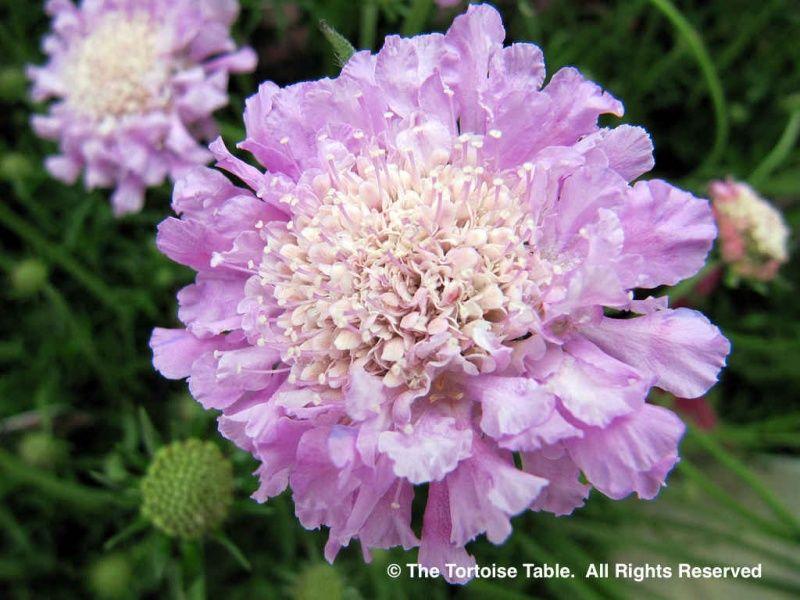 Scabious (Scabios, Field Scabious, Pincushion Flower