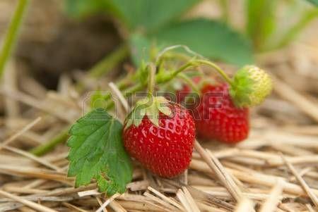 strawberry vine: 포도 나무에 성장 신선한 유기농 딸기의 근접 촬영 부시 스톡 콘텐츠