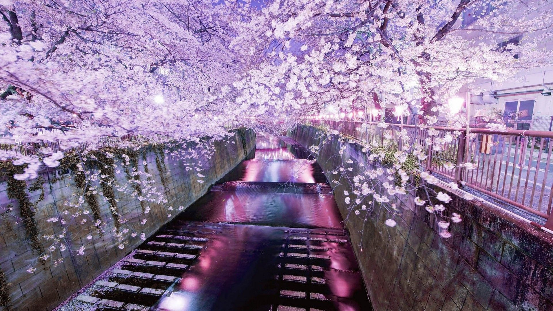 Japanese Cherry Blossom 26 HD Wallpaper | nature ...