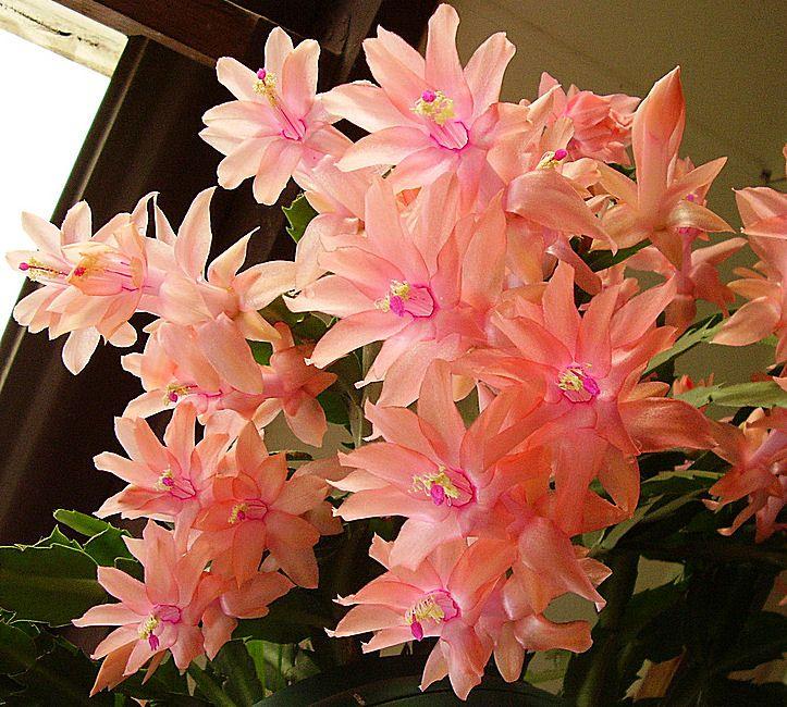 "Schlumbergera cactus ""Pink Heaven"" Christmas cactus"
