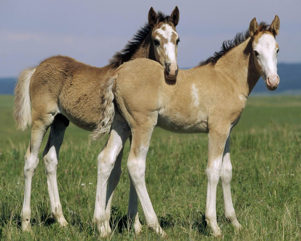 Draft Horse Foals