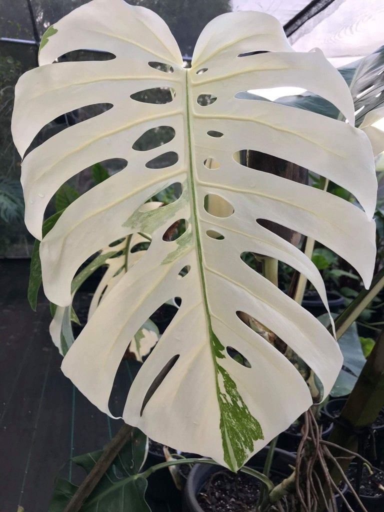 monstera deliciosa borsigiana variegata plants plant leaves variegated plants plants